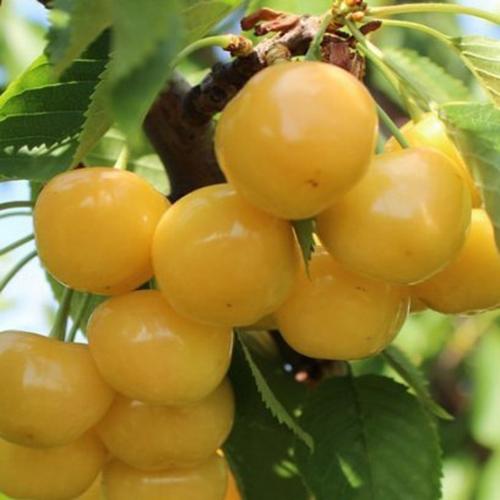 Изящная красотка Louisa B показывает свои персики